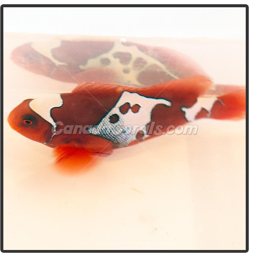 Captive Bred Gold X Lightning Maroon Clownfish