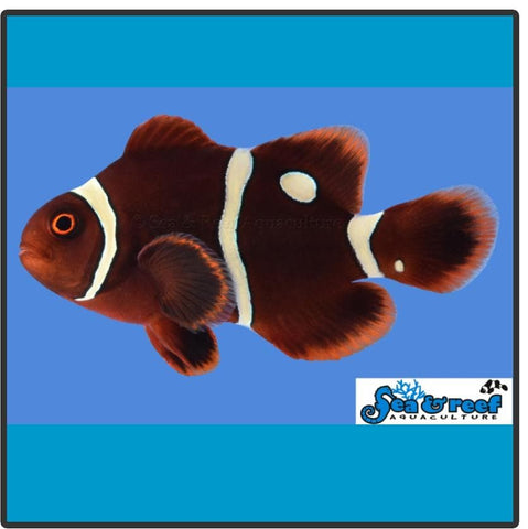 Gold Dot Maroon Clownfish - Captive Bred