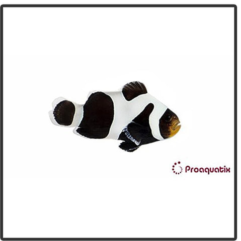 Premium Black Gladiator Clownfish - Captive Bred