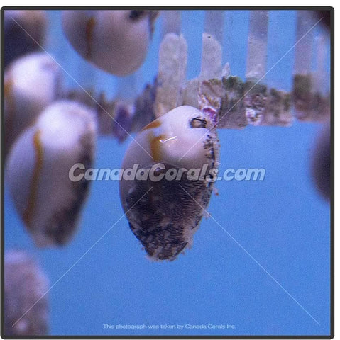 Gold Ring Cowrie