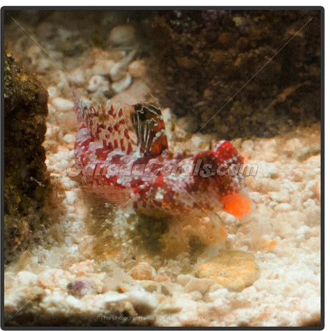 Red Scooter Blenny