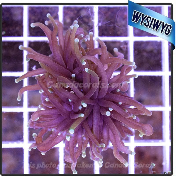 Indo Gold Torch Euphyllia