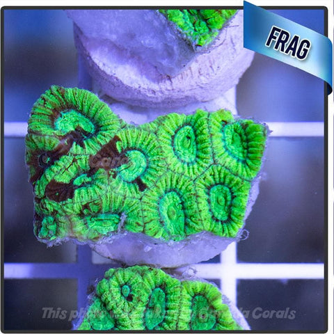 Electric Green Favia Frag - Canada Corals