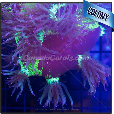 Bright Yellow Center Elegance Coral Colony
