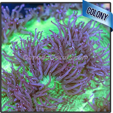 Large Purple Tipped Elegance Coral Colony
