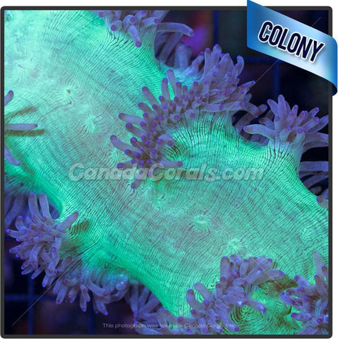 Purple Tentacled Elegance Coral Colony