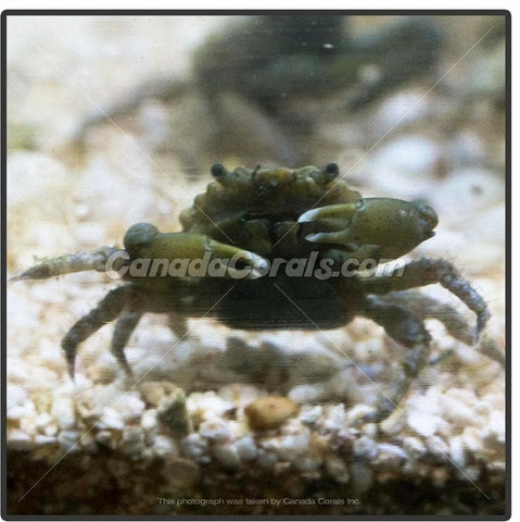Green Emerald Crab- NEW PRICE