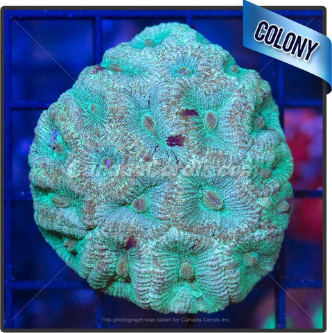 Angel Food Favia Colony