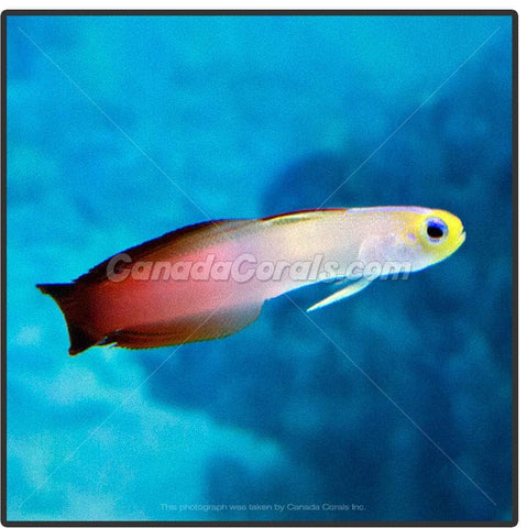 Firefish Goby - Canada Corals