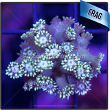 Electric Pulse Flowerpot Goniopora Frag