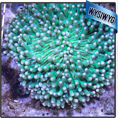 Show Size Neon Heliofungia Plate Coral WYSIWYG - Canada Corals
