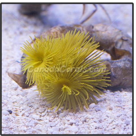 Golden Yellow Tube Worm