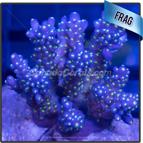 Garf Purple Bonsai Acropora Valida Frag