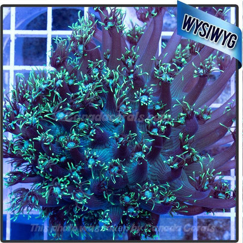 Aussie Electric Green Flower Pot Goniopora WYSIWYG - Canada Corals