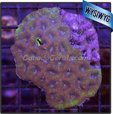 Yellow Goniastrea  Colony WYSIWYG - Canada Corals