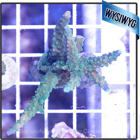 Bright-Tipped Green Acropora WYSIWYG