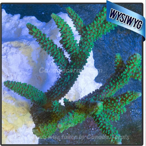 Neon Green Staghorn Colony WYSIWYG