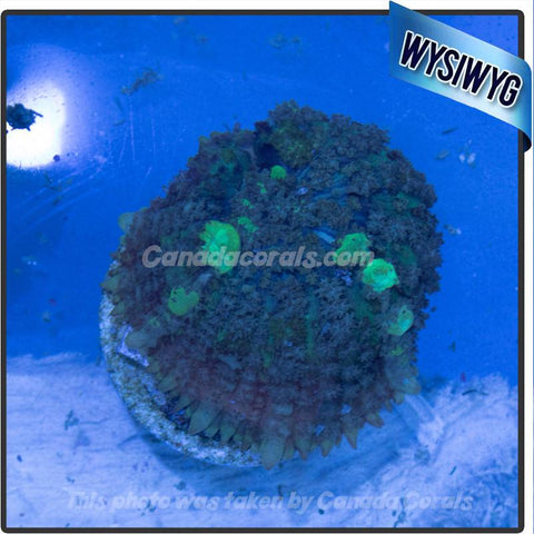 Yellow Bounce Mushroom - Canada Corals