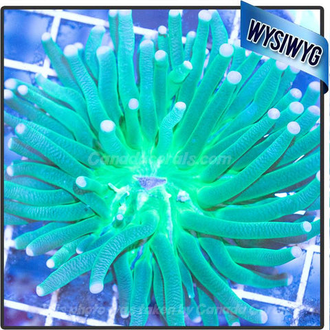 Neon Green Heliofungia Plate Coral WYSIWYG - Canada Corals