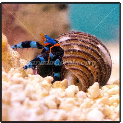 Electric Blue Legged Hermit Crab - Canada Corals