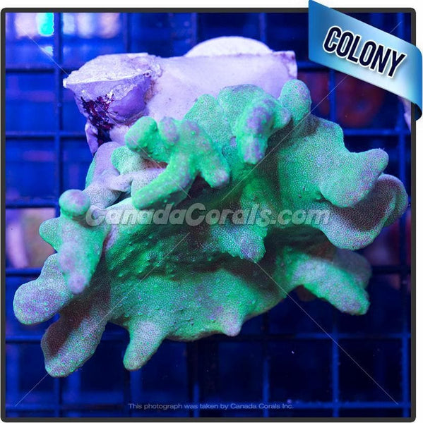 Neon Green Finger Leather Colony 2