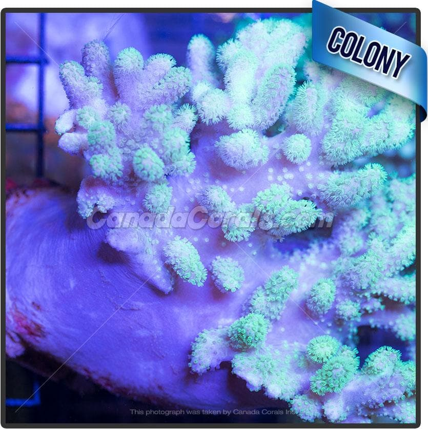 Neon Finger Leather Colony 3