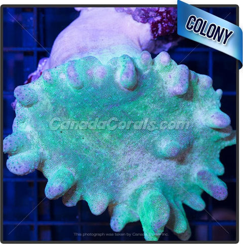 Neon Green Finger Leather Colony 3