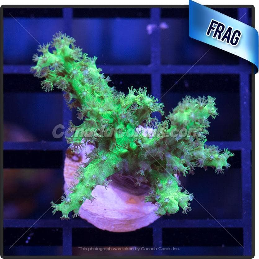 Nepthea Neon Leather Frag