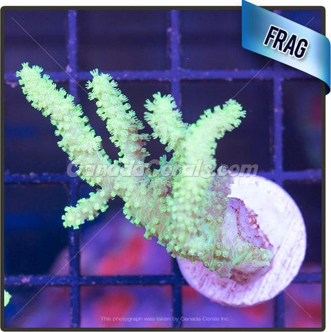 Aussie Neon Finger Leather Frag
