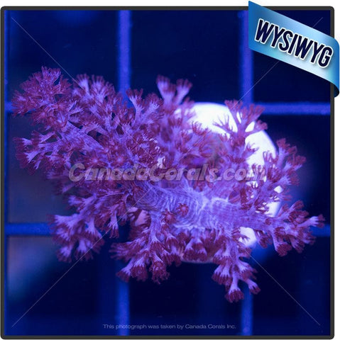 Orchid Colt Coral Leather WYSIWYG 3