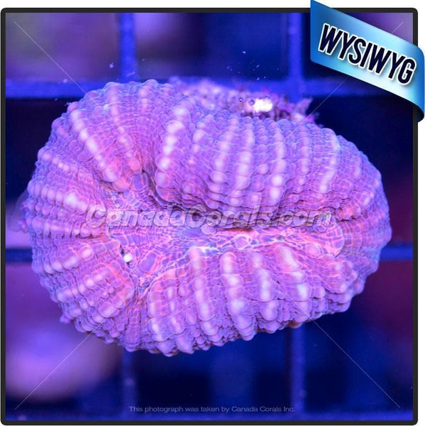 Grape Punch Lobophyllia WYSIWYG