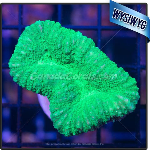 Electric Green Lobophyllia WYSIWYG 2
