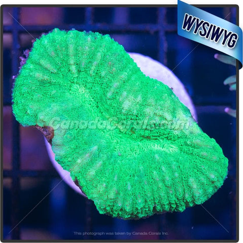 Electric Green Lobophyllia WYSIWYG 3