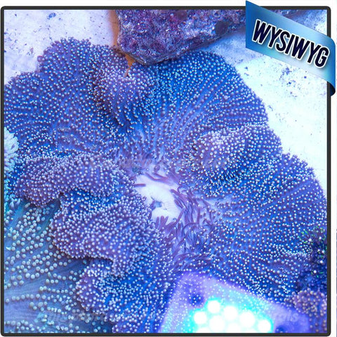 Purple Orange Tip Mertensii Carpet Anemone - Canada Corals