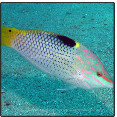 Marble Wrasse - Canada Corals