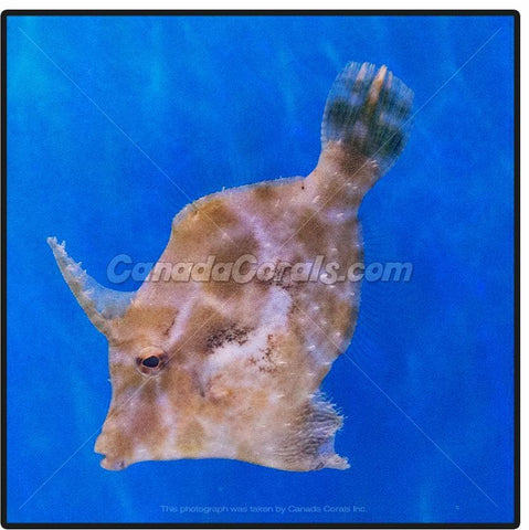 Matted Filefish - Canada Corals