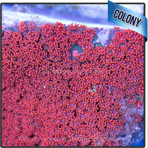 Red Micron Goniopora Frags - Canada Corals