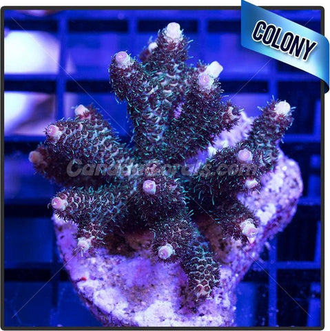 Easy Street Acropora Millepora Colony
