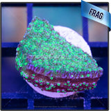 Green Blue Rimmed Montipora Sp. Frag