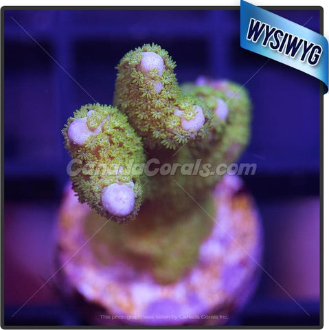 Four Leaf Clover Montipora Digitata WYSIWYG 5