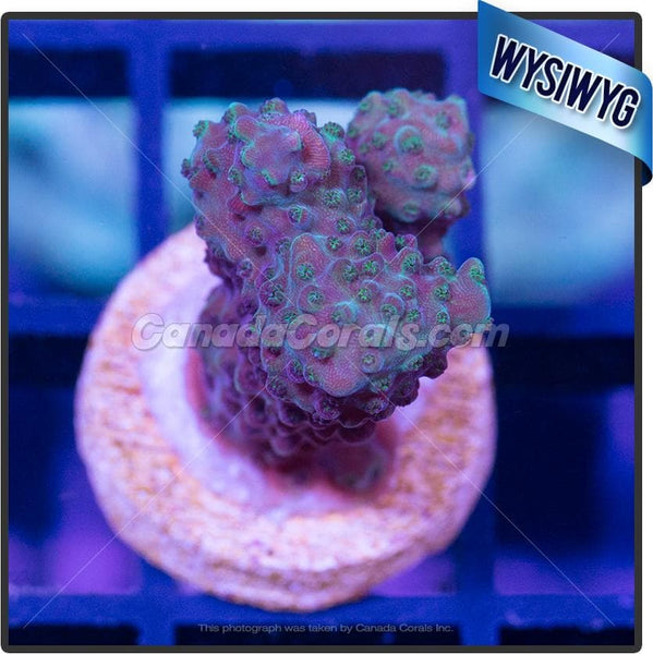 Blue Shadow Acropora Sp. WYSIWYG