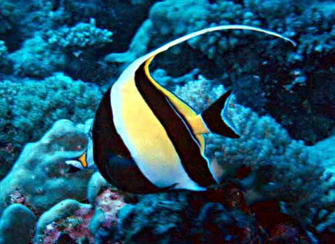 Moorish Idol Fish - Canada Corals