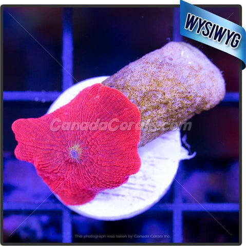 Candy Apple Red Discosoma Mushroom WYSIWYG 5