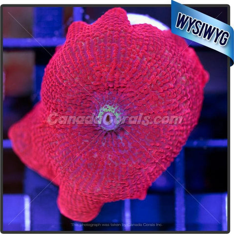Candy Apple Red Discosoma Mushroom WYSIWYG 2