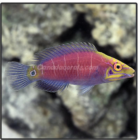 Mystery Wrasse - Canada Corals