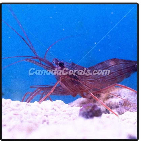 Peppermint Shrimp - Canada Corals