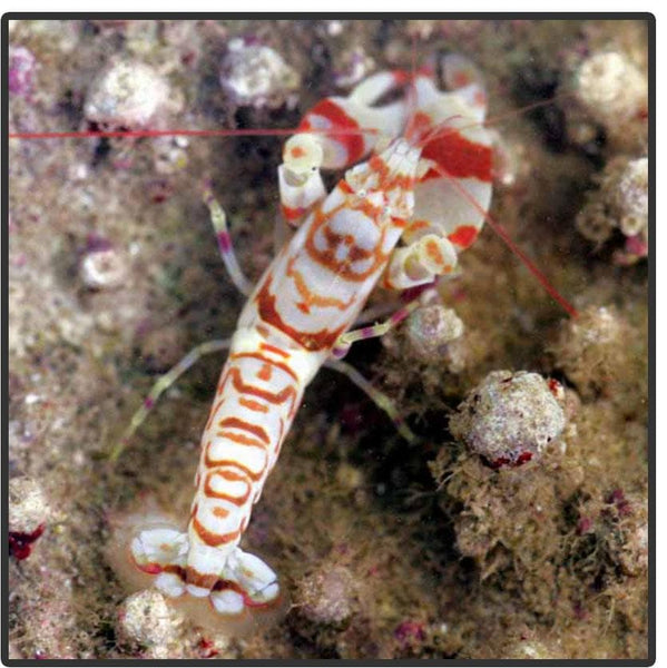 Red Tiger Pistol Shrimp