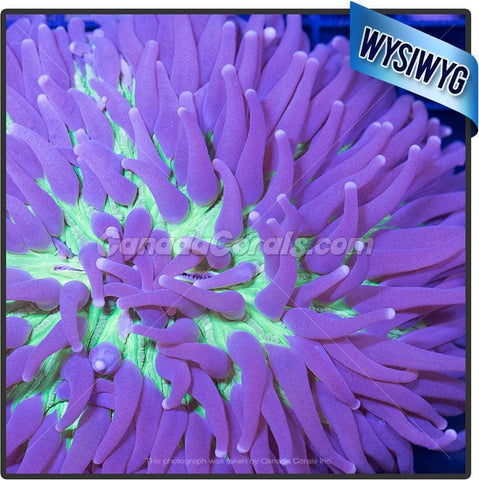 Purple and Yellow Heliofungia Plate Coral WYSIWYG 3