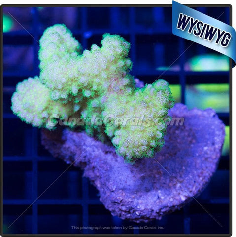 Green Pocillopora Colony 2
