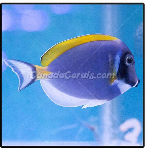 Powder Blue Tang - Canada Corals